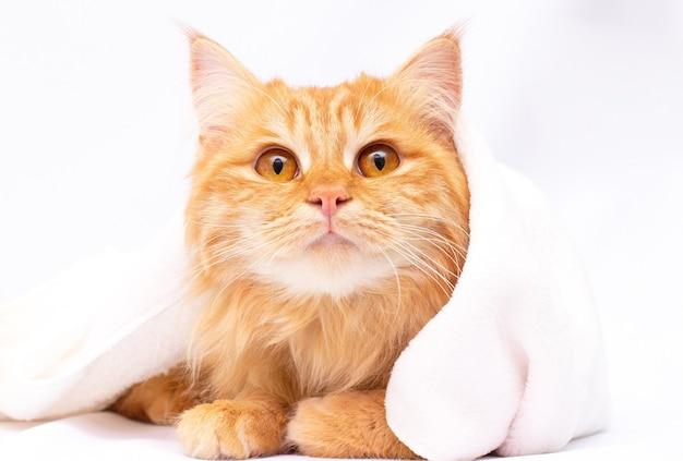 Милый рыжий кот, лежащий под одеялом на белом фоне