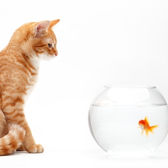 Cute red cat plays with a gold decorative fish in a round aquarium.