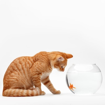 Cute red cat plays with a gold decorative fish in a round aquarium.