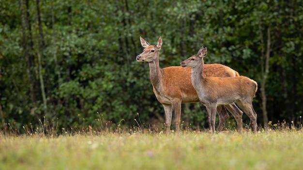 Cute red deer in nature looking aside