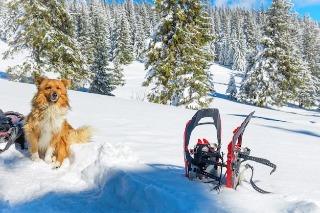 スノーシューや松の木の近くの雪の上に座っているかわいい赤い犬