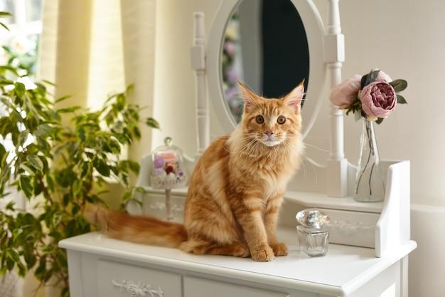 かわいい赤いふわふわメインクーン猫は、花や植物に囲まれた白い私室の化粧テーブルに座っています