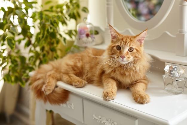 かわいい赤いふわふわメインクーン猫は、花や植物に囲まれた白い私室の化粧テーブルの上に横たわっています