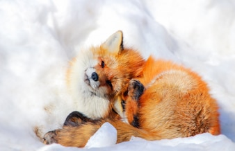 Cute red fox in winter snow