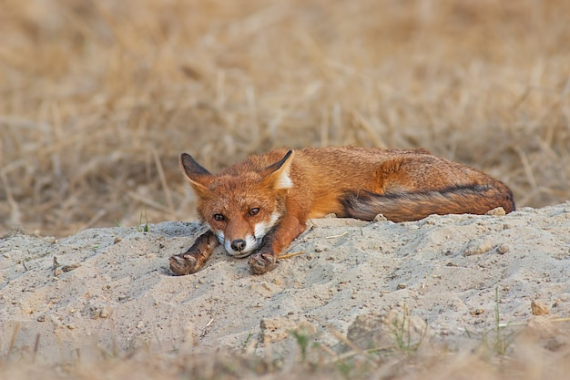 Cute red fox laying lazily on a sand