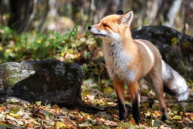 Симпатичная рыжая лисица, vulpes vulpes, в зеленом лесу. охота на лису в лесу. животное в естественной среде обитания.