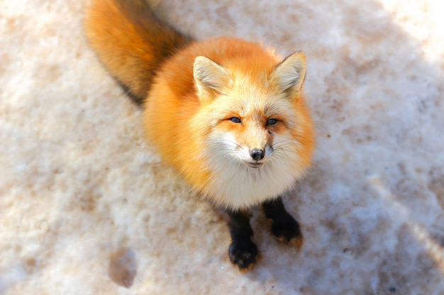 Cute red fox in winter snow