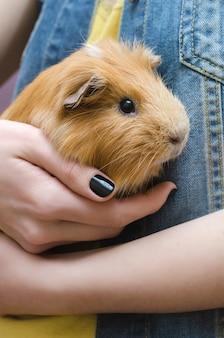 Cute red guinea pig on the female hands.