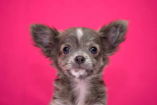 Cute red-haired chihuahua puppy sits on a crimson background.