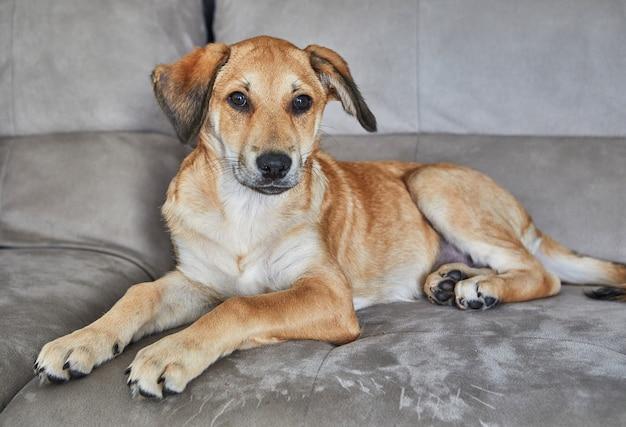 耳がぶら下がっているかわいい赤毛の犬がソファに座っています。