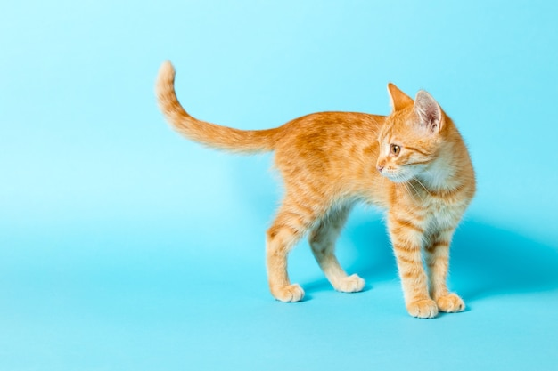 Cute red kitten on a blue background. playful and funny pet. copy space.