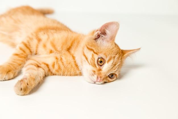 흰색 바탕에 귀여운 빨간 고양이입니다. 장난스럽고 재미있는 애완 동물. 공간을 복사합니다.