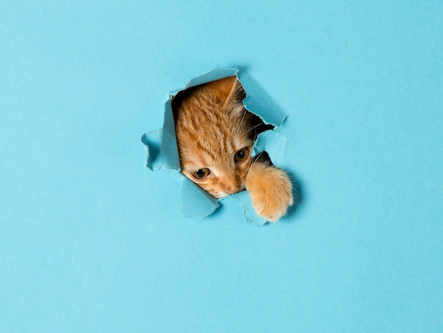 A cute red kitten peeks out through a hole in the paper. playful and funny pet, blank for advertising, poster, sale, veterinary clinic.