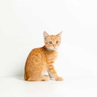 Cute red kitten on a white background. playful and funny pet. copy space.