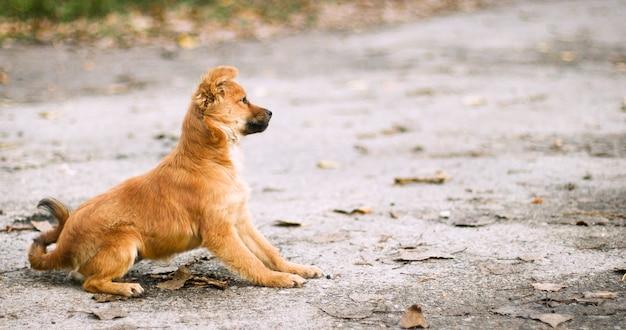 かわいい赤い子犬が通りのアスファルトの上に横たわり、注意深く脇に見えます