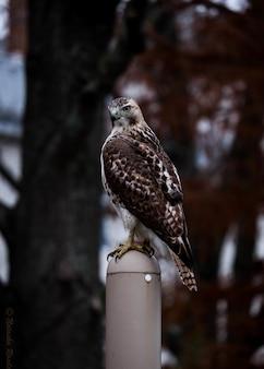Simpatico falco dalle spalle rosse in piedi su un bastone