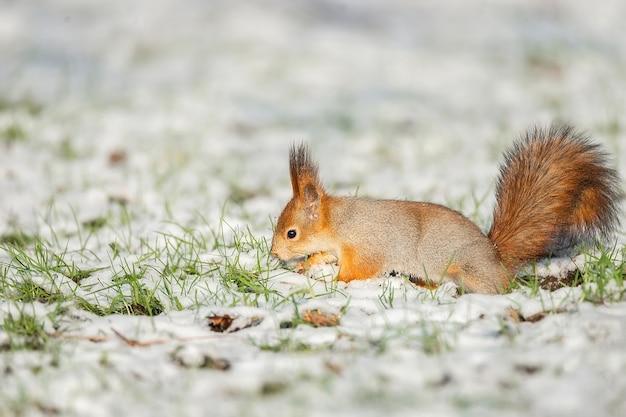 Милая рыжая белка сидит в снегу, покрытом снежинками
