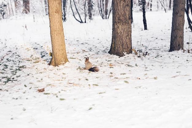 Милая рыжая белка сидит в снегу в зимнем лесу.