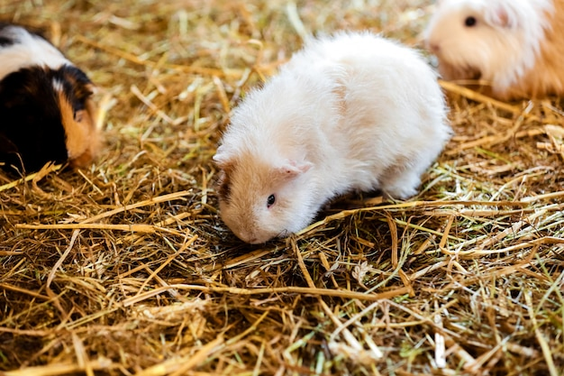 Cute red and white guinea pig close-up. little pet in its house. guinea pig in the hay. selective focus.