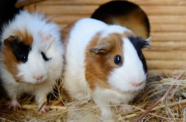 Cute red and white guinea pig close-up. little pet in its house Premium Photo