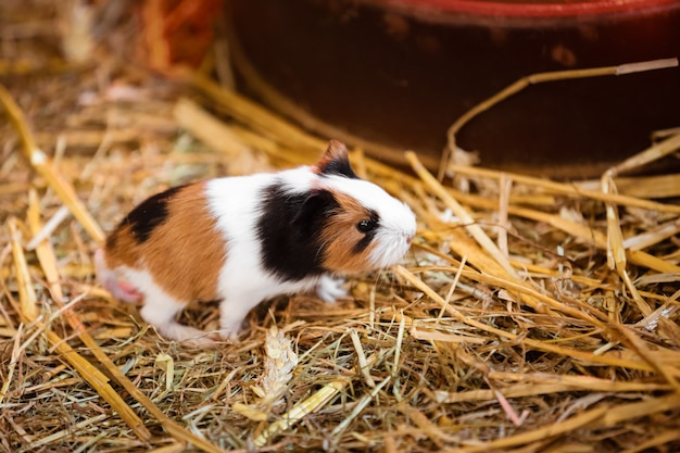 Cute red and white guinea pig close-up