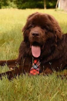 Милая отдыхающая коричневая собака ньюфаундленда в красном клетчатом галстуке лежит.