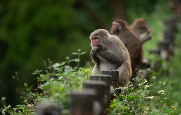 Cute rhesus macaque (macaca mulatta) monkey in nature