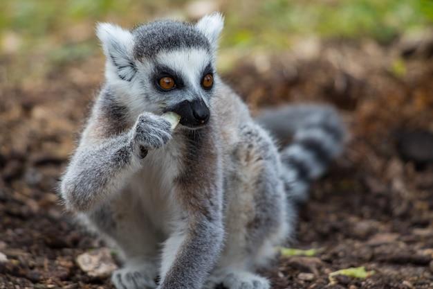 Lemure dalla coda ad anelli carino mangiare il suo cibo