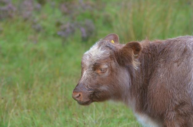 スコットランド高地のかわいいローミング子牛。
