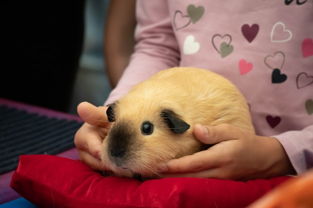 A cute rodent guinea pig is sitting in the hands of a child.