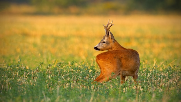 Cute roe deer stretching its neck and watching behind on a filed at sunset
