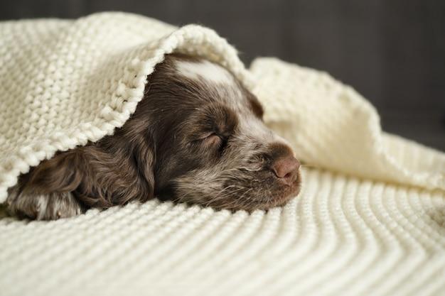 귀여운 러시안 스패니얼 갈색 멀 파란 눈 강아지는 흰색 격자 무늬 소파 아래에서 잠을 잔다. 애완 동물은 따뜻하고 아늑한 침대에 누워 있습니다.