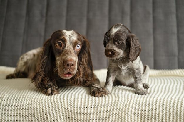 흰색 격자 무늬 소파에 누워 귀여운 강아지와 함께 귀여운 러시아 발 바리 갈색 멀 다른 색 눈 개. 엄마와 아기. 애완 동물 관리 개념입니다.