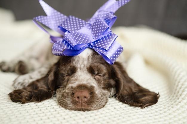 귀여운 러시안 스패니얼 초콜릿 멀 블루 눈 강아지는 머리에 리본이 달린 흰색 격자 무늬 소파에 누워 잠을 잔다. 선물. 생일 축하. 휴일.