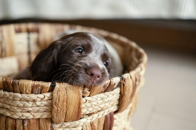 등나무 바구니에 누워 귀여운 러시아 발 바리 초콜릿 멀 파란 눈 강아지. 에코 개념입니다.