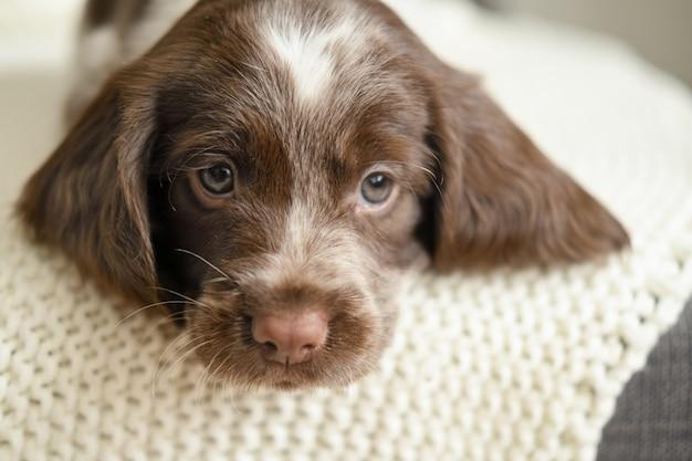 흰색 격자 무늬 소파에 누워 귀여운 러시아 발 바리 초콜릿 멀 파란 눈 강아지.