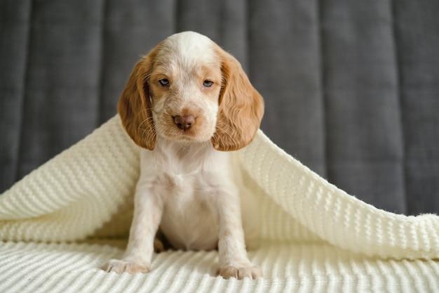귀여운 러시안 스패니얼 빨간색과 흰색 멀 블루 눈 강아지는 흰색 격자 무늬 소파 아래에 앉아 있습니다. 애완 동물은 따뜻하고 아늑한 침대에 누워 있습니다.