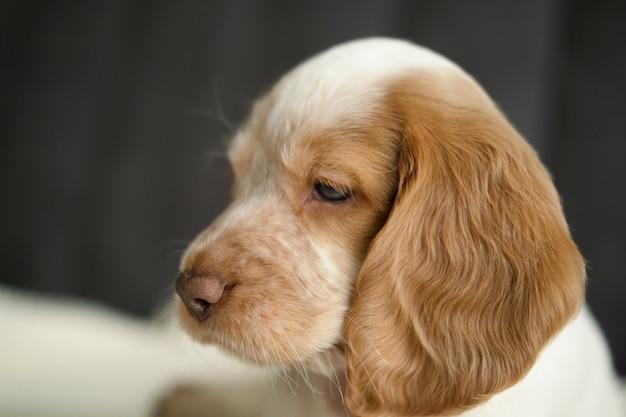 귀여운 러시안 스패니얼 빨간색과 흰색 멀 블루 눈 강아지는 소파에 얼굴을 하고 있습니다. 확대.