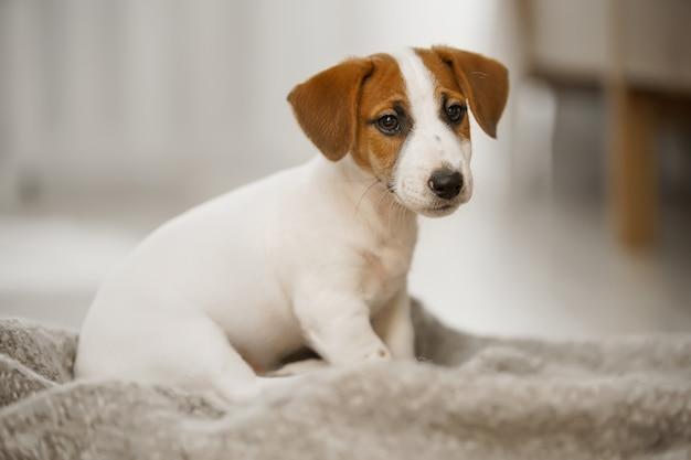 Cute sad puppy sitting on the blanket.