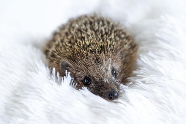 부드러운 담요에 누워 귀여운 슬픈 야생 고슴도치