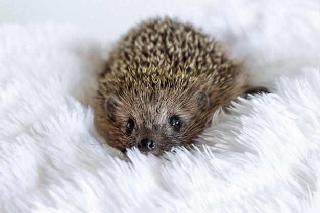 Cute sad wild hedgehog lying on a soft blanket on a white background. the prickly animal is bored in the house and wants to be free in the forest. protection and domestication of forest animals.