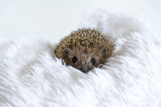 Cute sad wild hedgehog lying on a soft blanket on a white background. the prickly animal is bored in