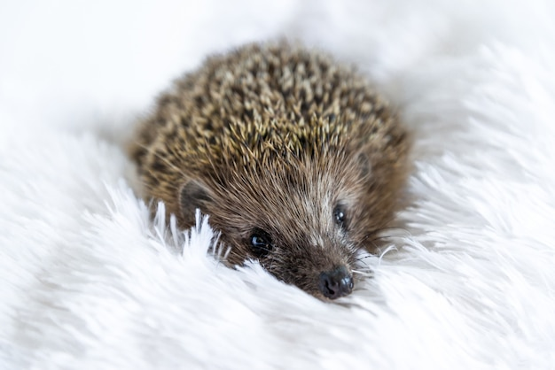 Cute sad wild hedgehog lying on a soft blanket on a white surface. the prickly animal is bored in the house and wants to be free in the forest. protection and domestication of forest animals.