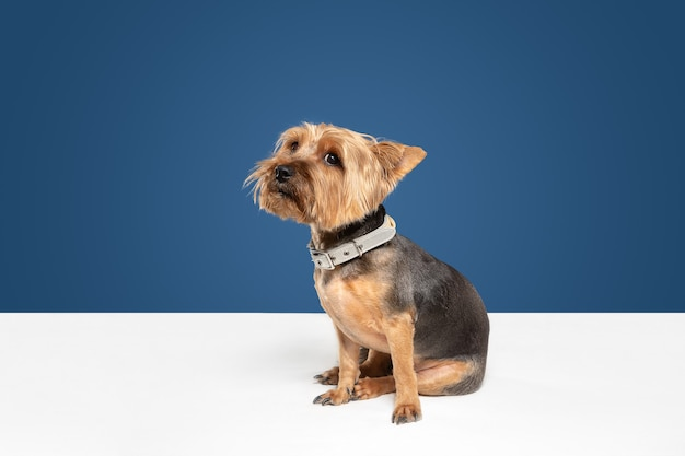 Cute and sad. yorkshire terrier dog is posing. cute playful brown black doggy or pet playing on blue studio background. concept of motion, action, movement, pets love. looks delighted, funny.