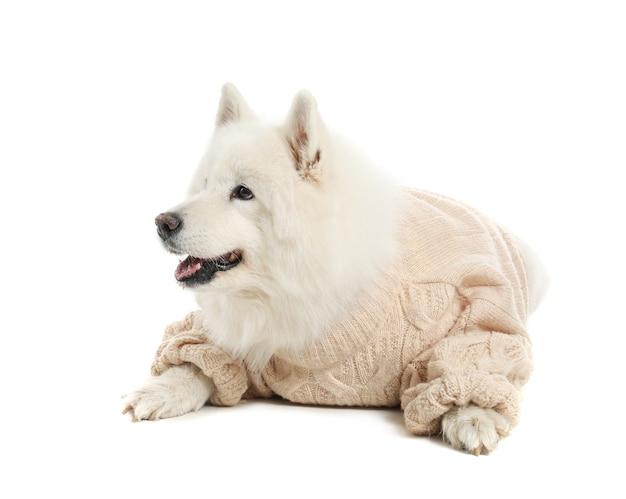 白い背景の上の暖かいセーターでかわいいサモエド犬