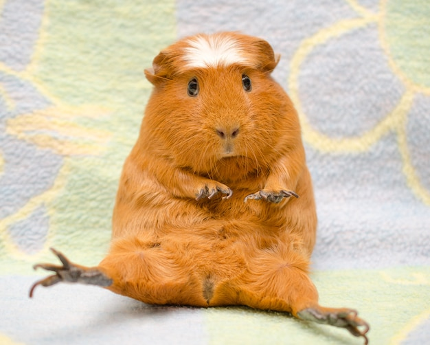 Cute scared guinea pig with long nails sitting in a funny pose