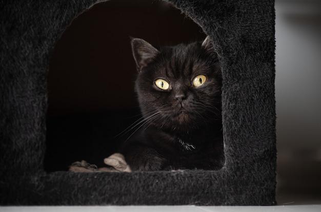 Симпатичный шотландский кот лежит в своем плюшевом домике и смотрит в камеру, портрет кошки, крупный план