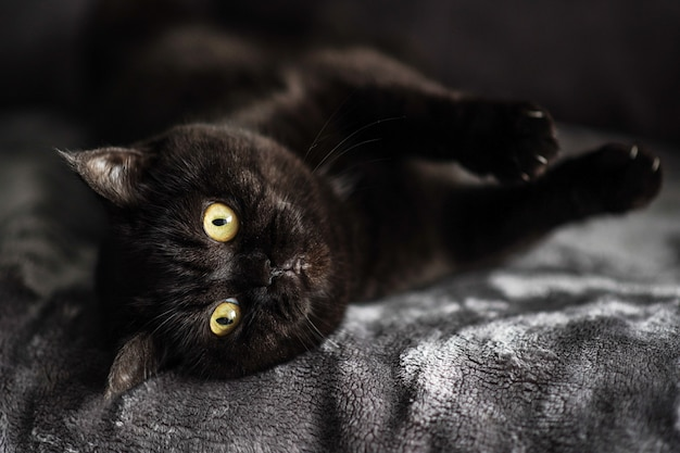 Милый шотландский кот лежит на кровати