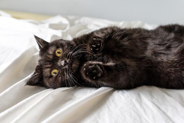 Милый шотландский кот игриво лежит на белой кровати и смотрит в камеру, крупным планом Premium Фотографии