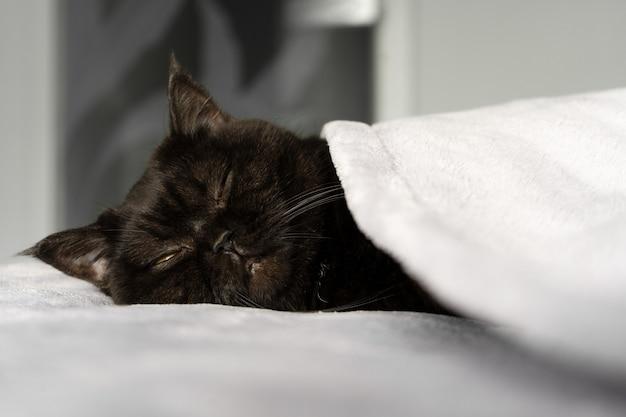 Милый шотландский котик сладко спит, укрытый одеялом